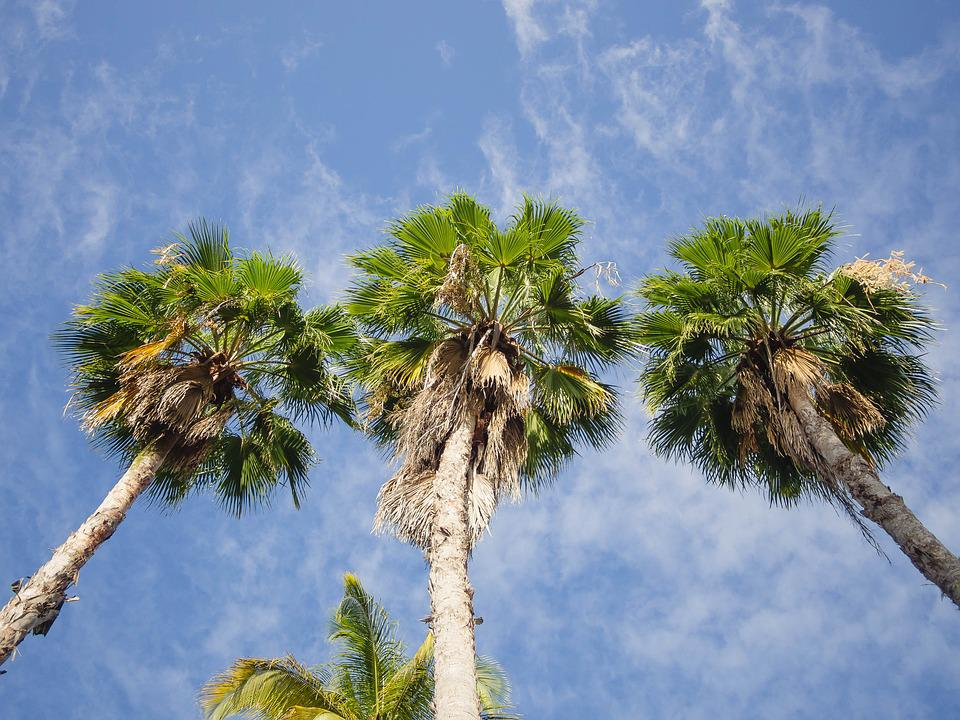 Palm, Trees, Sky, Tropical, Summer, Nature, Warm, Blue