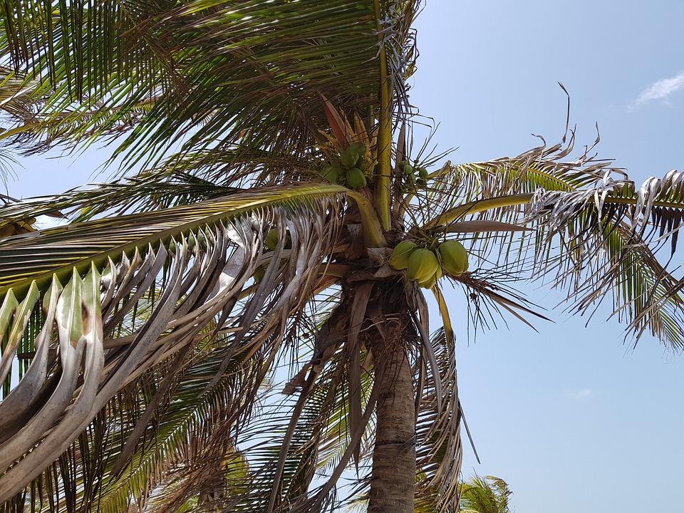 Arecaceae, Tropical, Tree, Coco, Holidays, Exotic