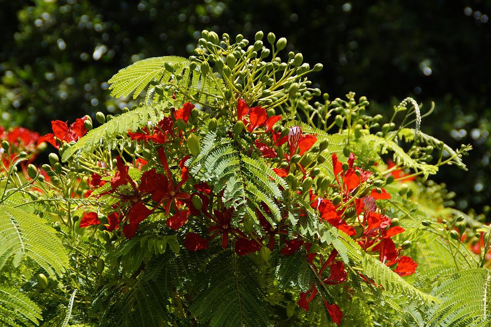 Flamboyant, Tree, Flourishing Tree, Tropical, Tropics