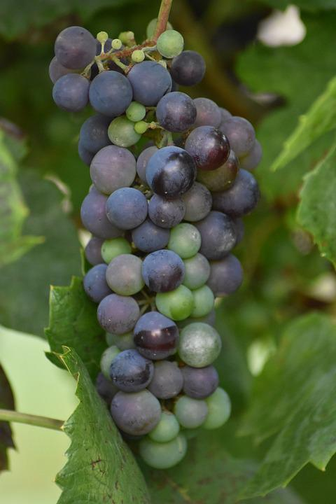 Grapes, Tros, Wine, Fruits, Grape, Vines, Plant, Fruit