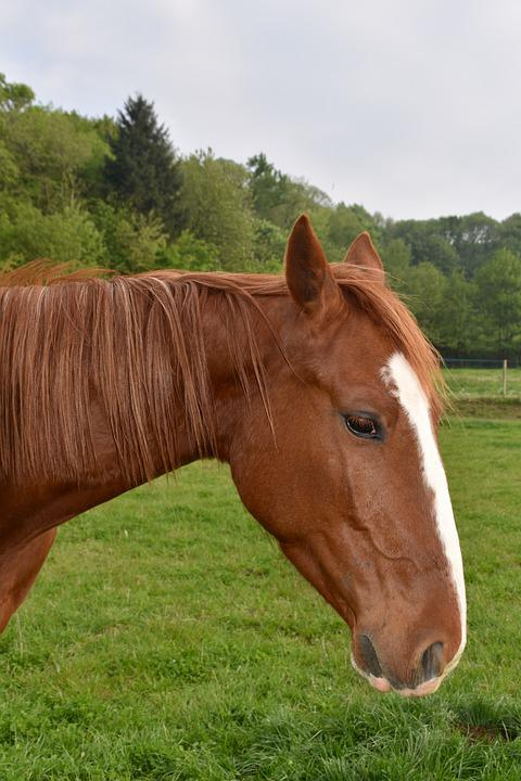 Horse, Young Horse, Horse Kid, Gelding, Trotter French