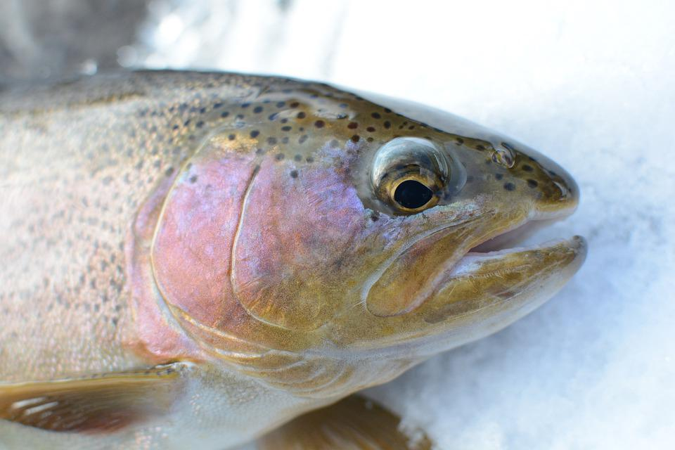 Rainbow Trout, Fish, Fishing, Trout, Fresh Fish, Catch