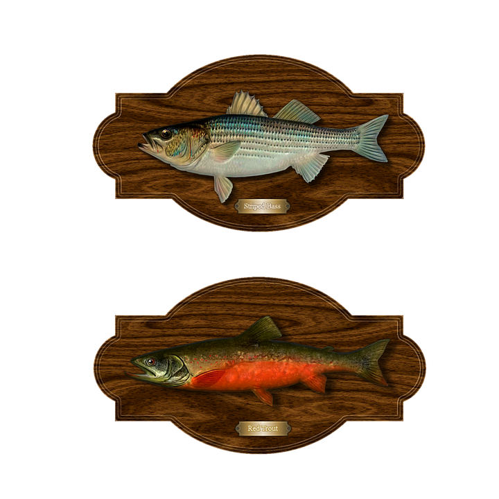 Fish, Trout, Bass, Trophy Catch, Striped Bass