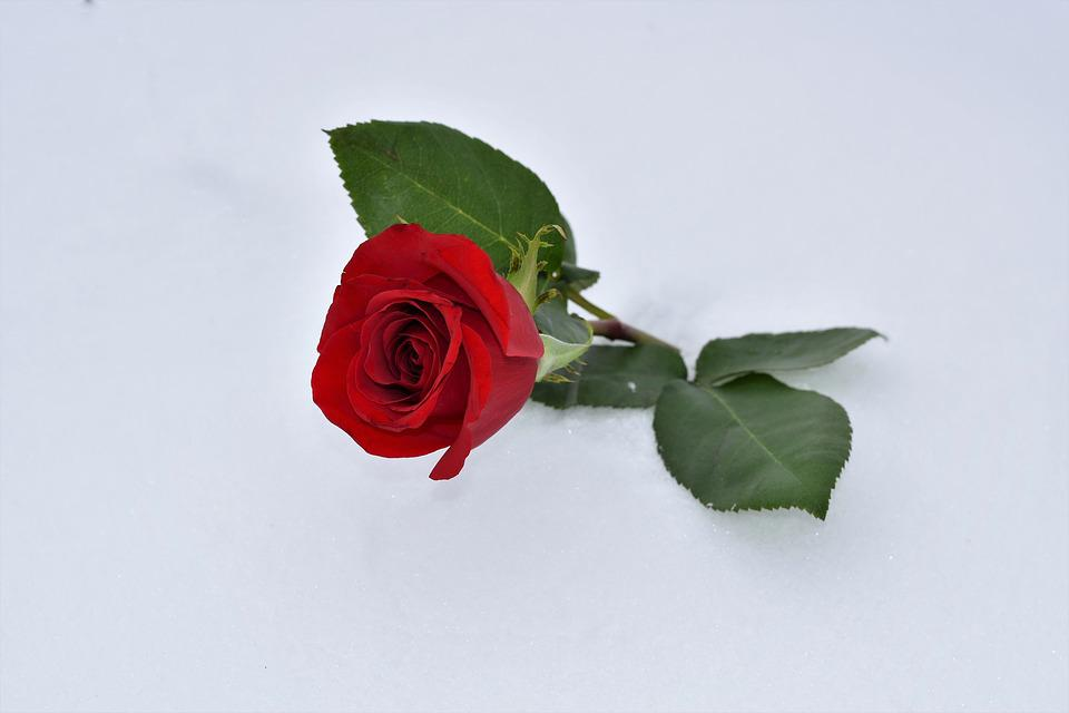 Free Photo True Love Never Dies Red Rose In Snow Love Symbol Max Pixel