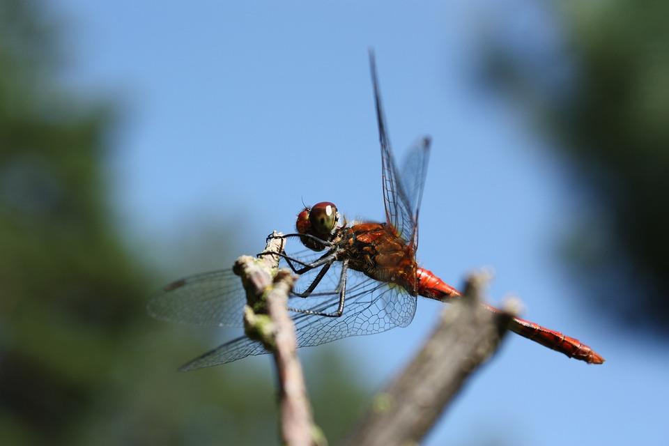 Ważka, Insect, Common Pałatka, Abdomen, Trunk, Eyes