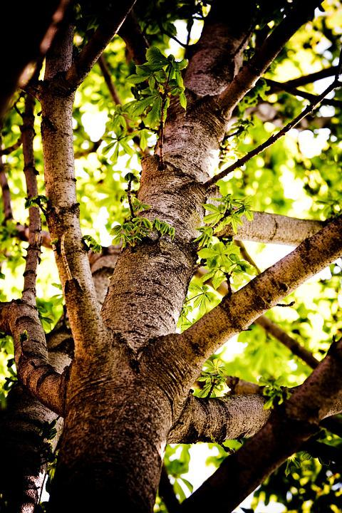 Chestnut, Tree, Trunk, Branches, Bark, Nature, Leaves