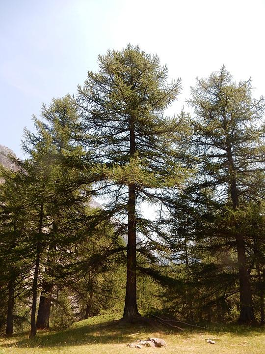 Tree, Forest, Trunk, Larch, Nature, Mountain, High