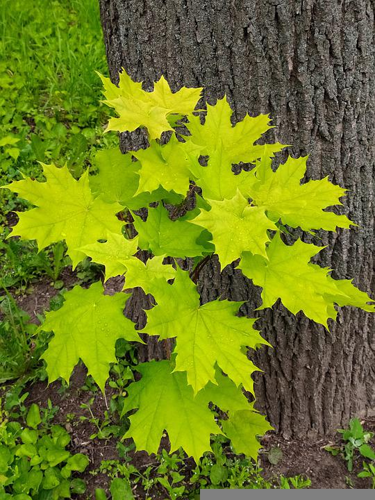 Tree, Trunk, Maple, Leaves, Green, Young