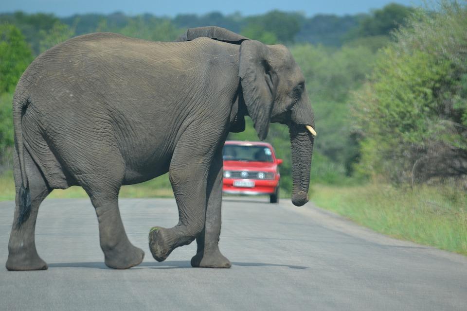 Elephant, South Africa, Kruger, Conservation, Trunk