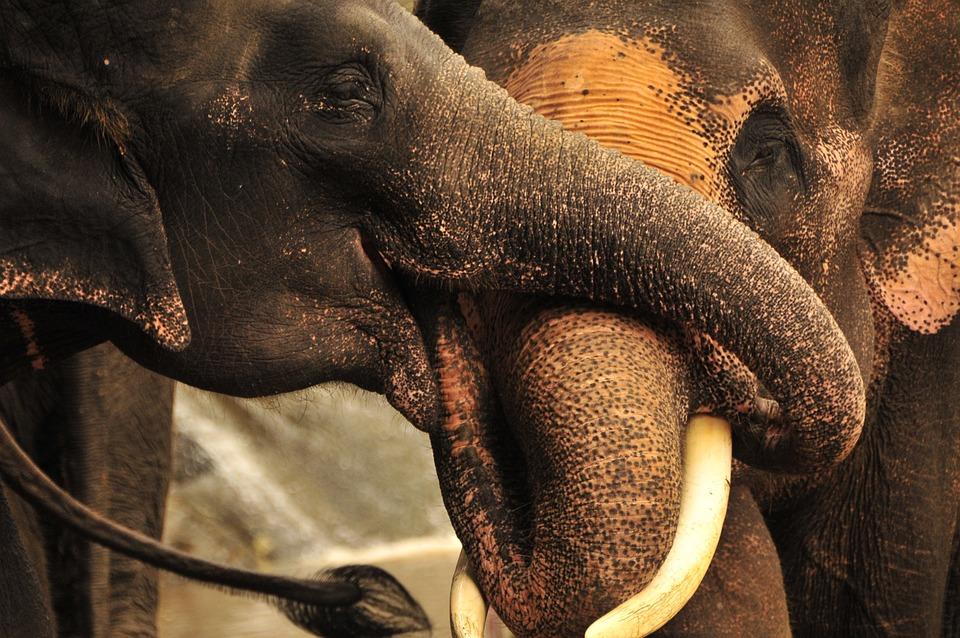 Elephant, Trunks, Thailand, Nature, Wildlife, Animal
