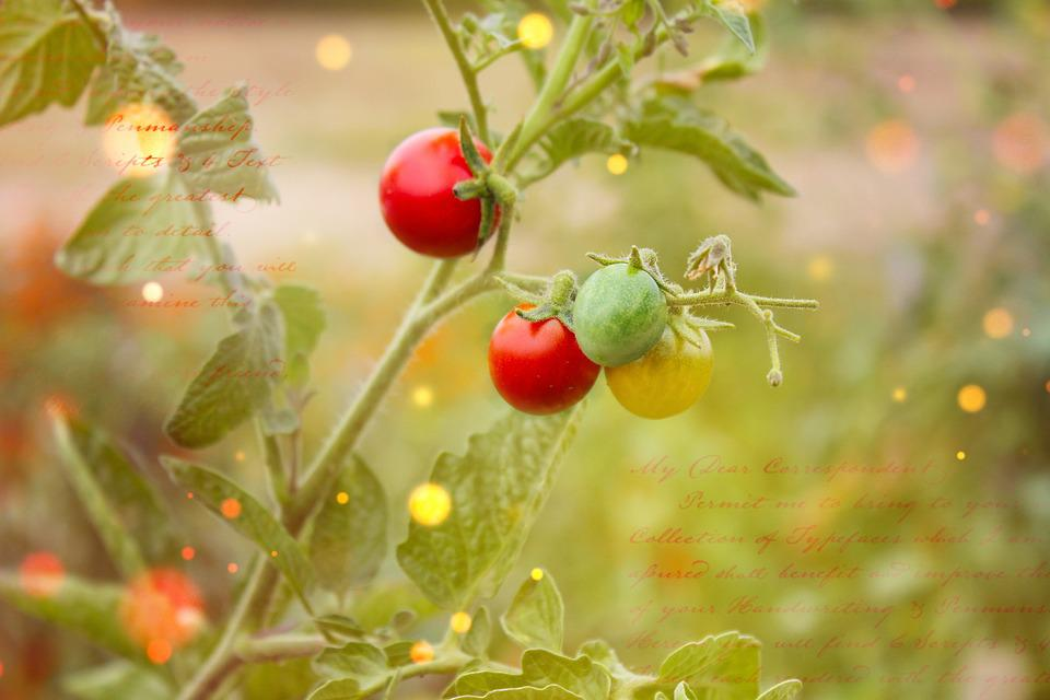 Tomato Plant, Trusses, Vegetables, Tomatoes