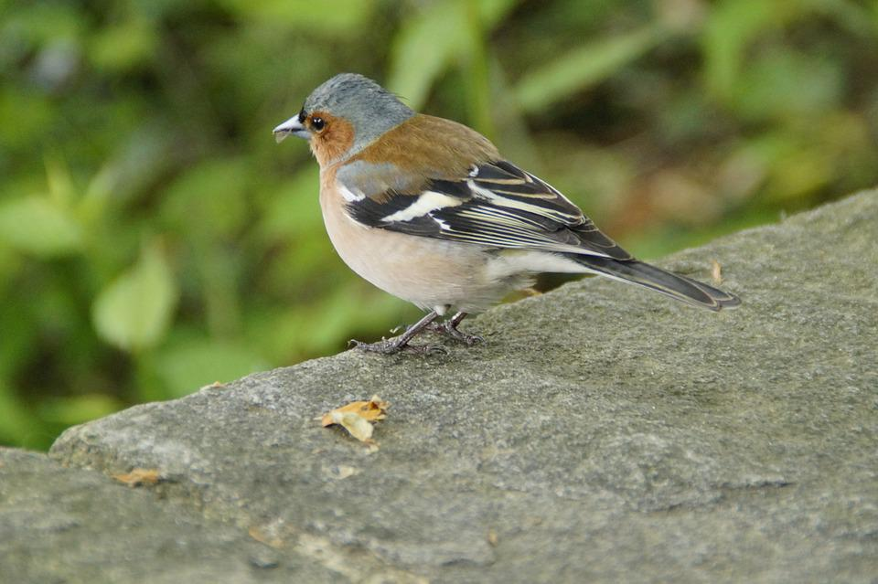 Chaffinch, Plumage, Drawing, Bird, Cheeky, Trustful