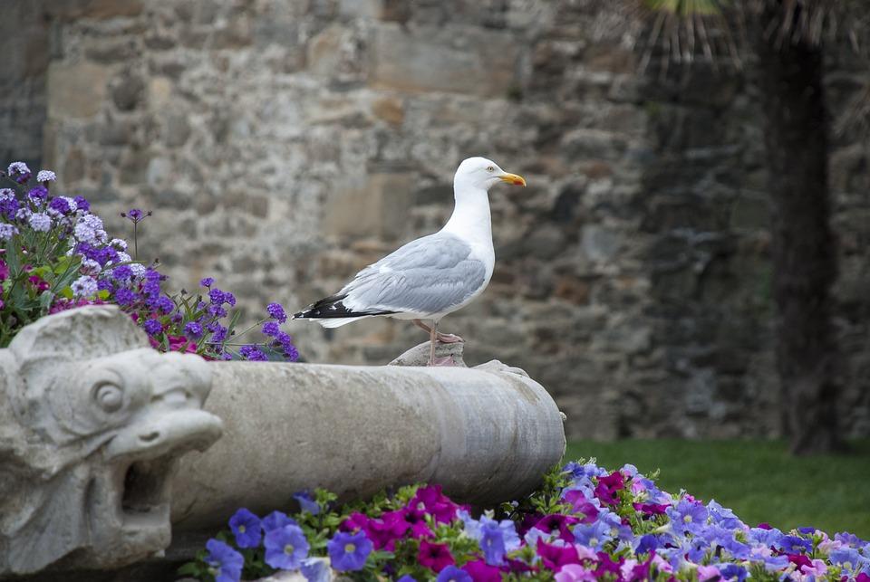 Trut, Bird, Seagull, Coast, Summer, Seabird, France