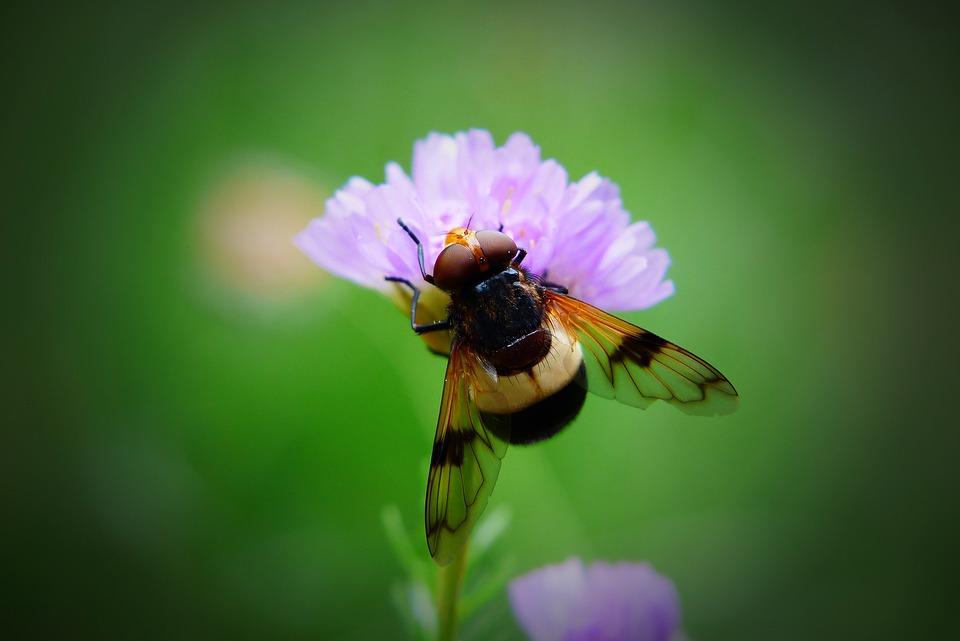 Trzmielówka Forest, Muchówka, Insect, Eyes, Wings