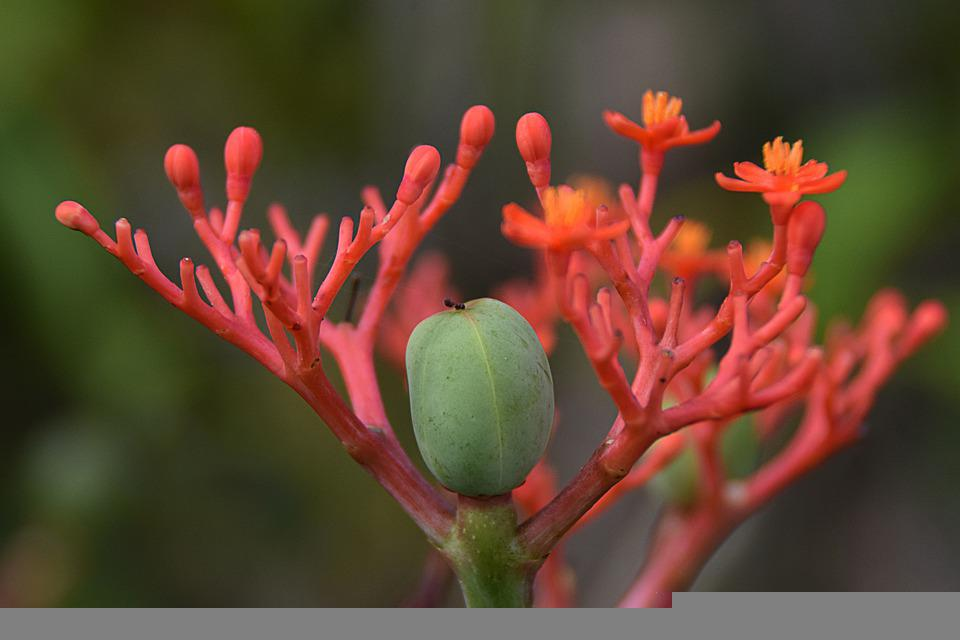 Ginseng, Blossom, Bloom, Tuber, Close Up