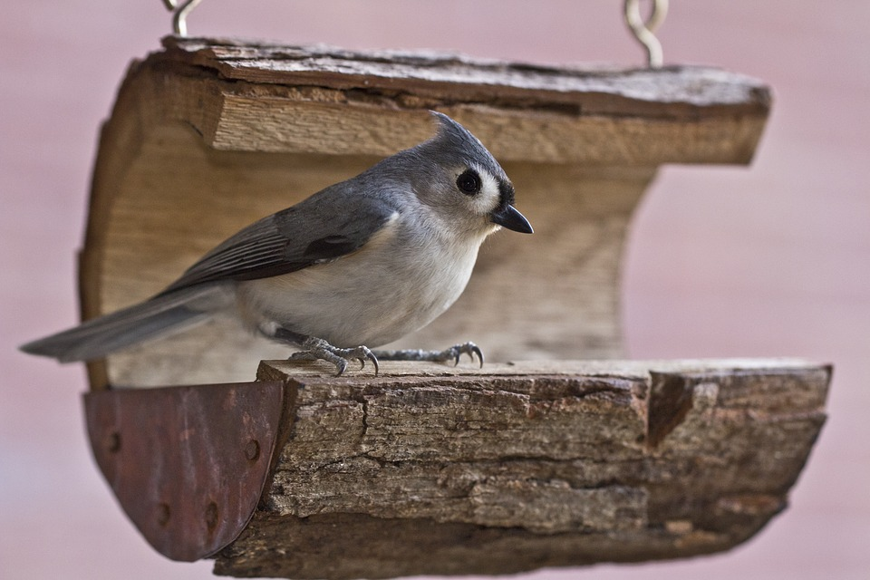 Tufted Titmouse, Bird, Titmouse, Tufted, Wildlife