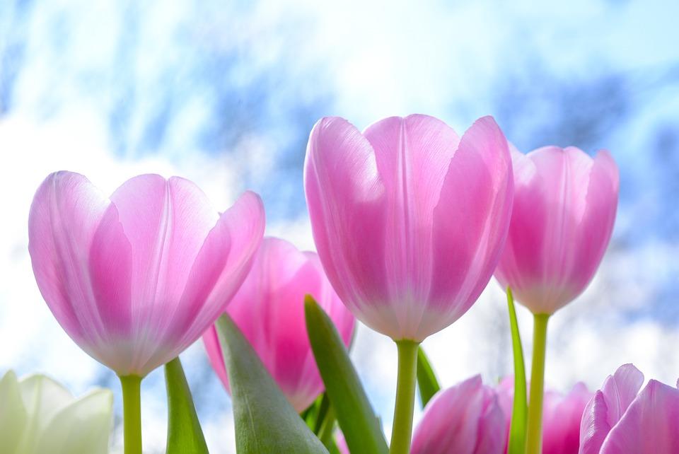 Nature, Flora, Flower, Tulip, Summer, Garden, Bright