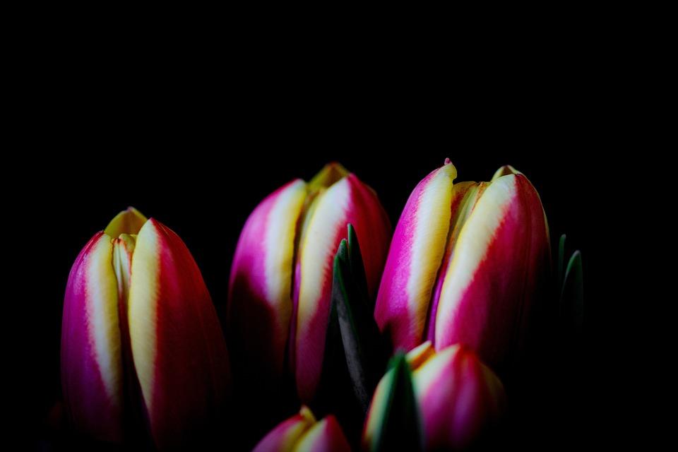 Tulip, Flower, Nature, Plant, Bright, Color, Leaf