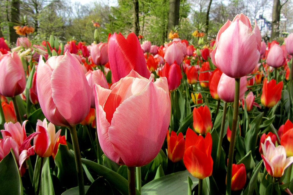 Free photo tulip bulb tulips netherlands red tulip bulbs max pixel tulip tulips red tulip netherlands bulb bulbs mightylinksfo