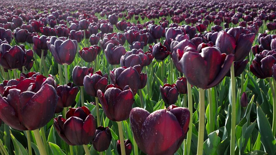 Tulips, Purple, Bulbs, Bulb, Plant, Tulip, Netherlands