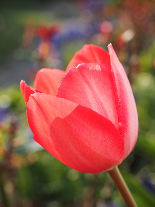 Tulip, Red, Flower, Spring, Close Up, Colorful, Color
