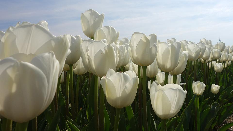Tulips, White, Tulip Fields, Bulb Netherlands, Bulb