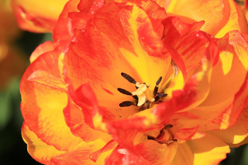 Tulip, Flower, Orange, Red, Yellow, Nature, Flora