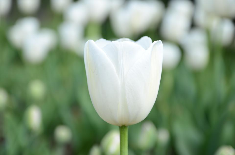 Free photo tulip flower white sea of flowers max pixel white flower tulip sea of flowers mightylinksfo