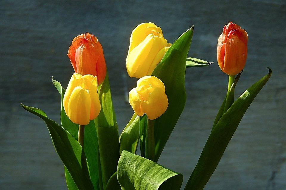 Tulip, Nature, Leaf, Flower
