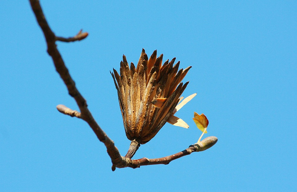 Poplar Seed, Tulip Poplar, Last Stage, Seed Pod, Flora