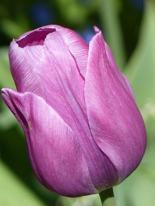 Tulip, Flower, Purple, Spring, Garden, Green, Onion
