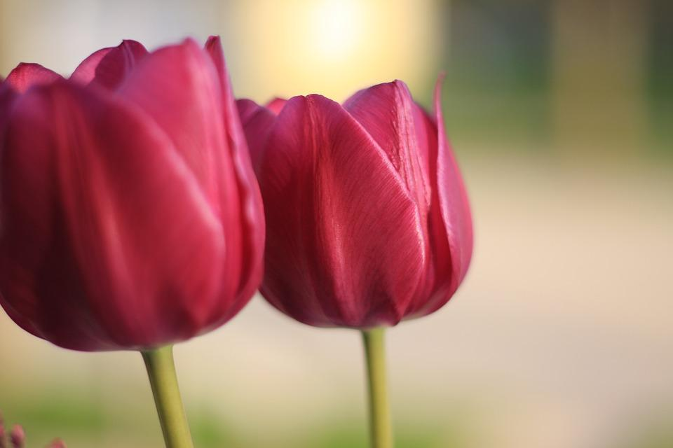 Tulip, Spring, Flower