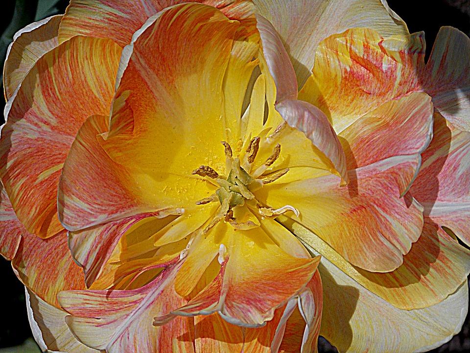 Tulip, Spring, Spring Flowers, Garden, Garden Flowers