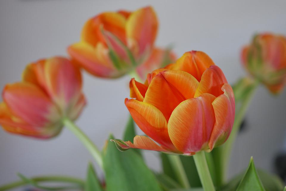 Tulip, Flower, Spring, Plant, Petals, Orange Tulip