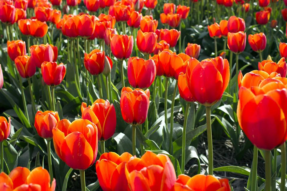 Tulips, Netherlands, Tulip, Spring, Holland, Bulb