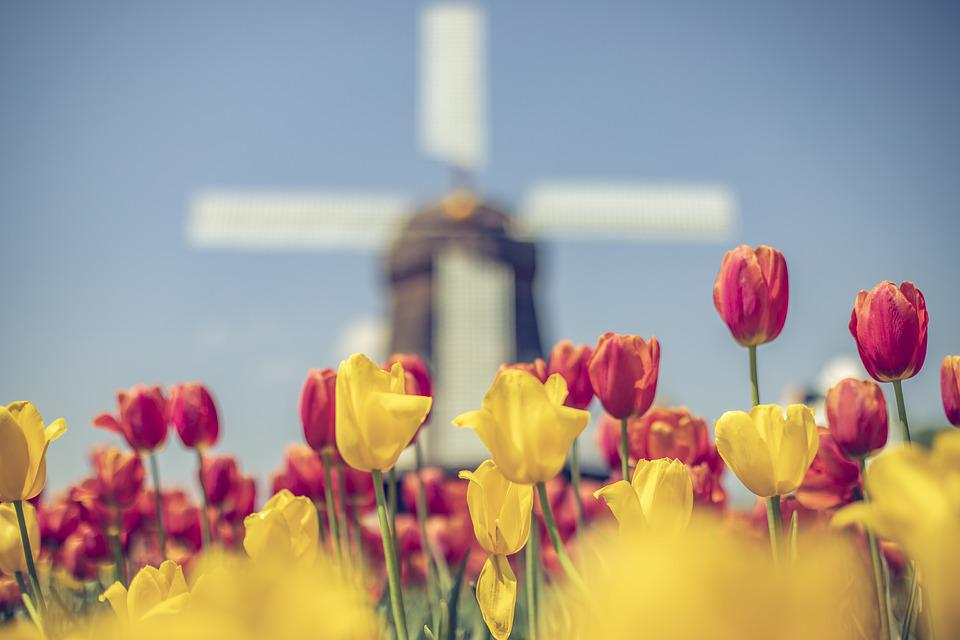 Windmill, Tulip, Tulips, Netherlands, Spring, Colorful