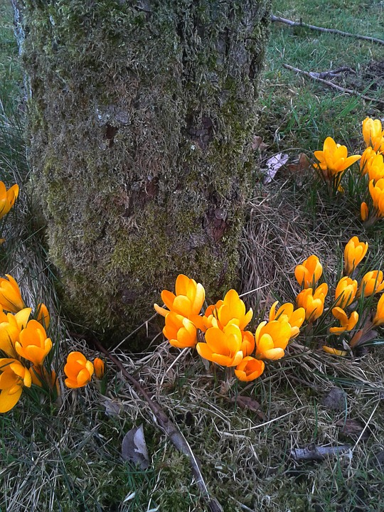 Spring Flower, Yellow Orange, Tulip, Onion
