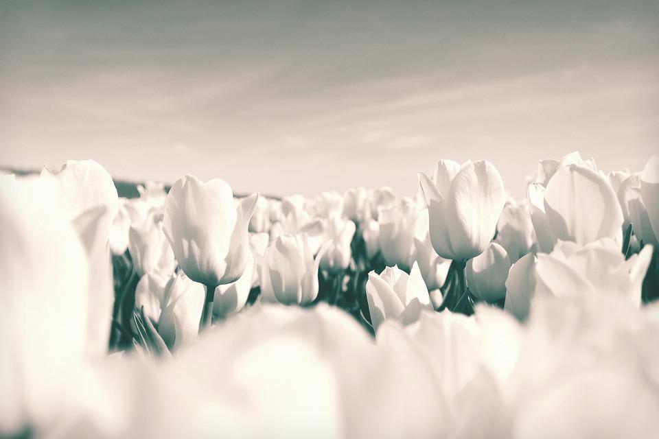 Tulips, Netherlands, Flowers, Bloom, Spring, Tulip