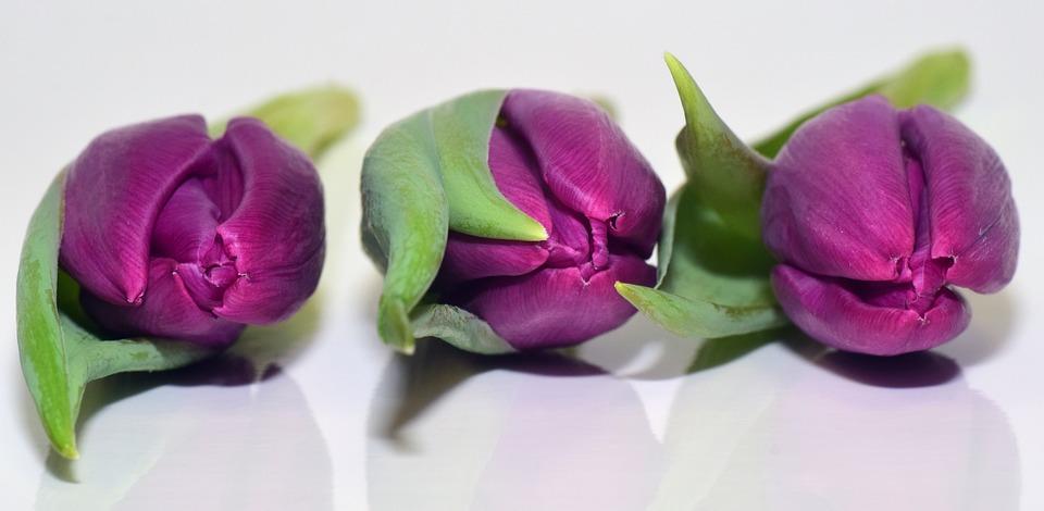Tulips, Purple, Flowers, Violet, Close, Closed