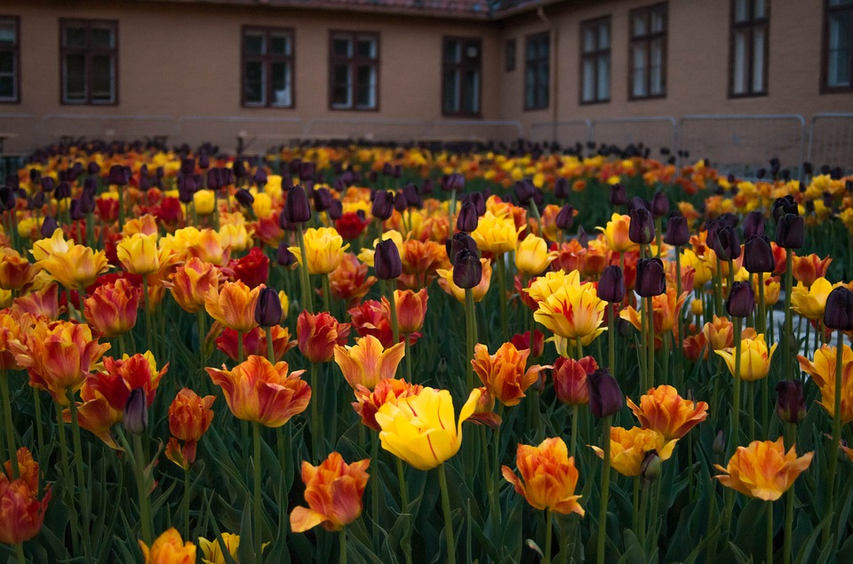 Flowers, Tulips, Red, Yellow, Floral, Garden, Green