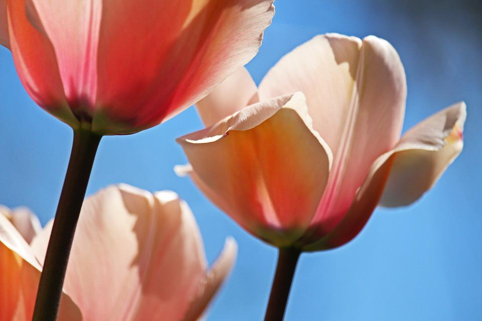 Tulips, Spring, April, Tulip Field, Flower Bed, Blossom