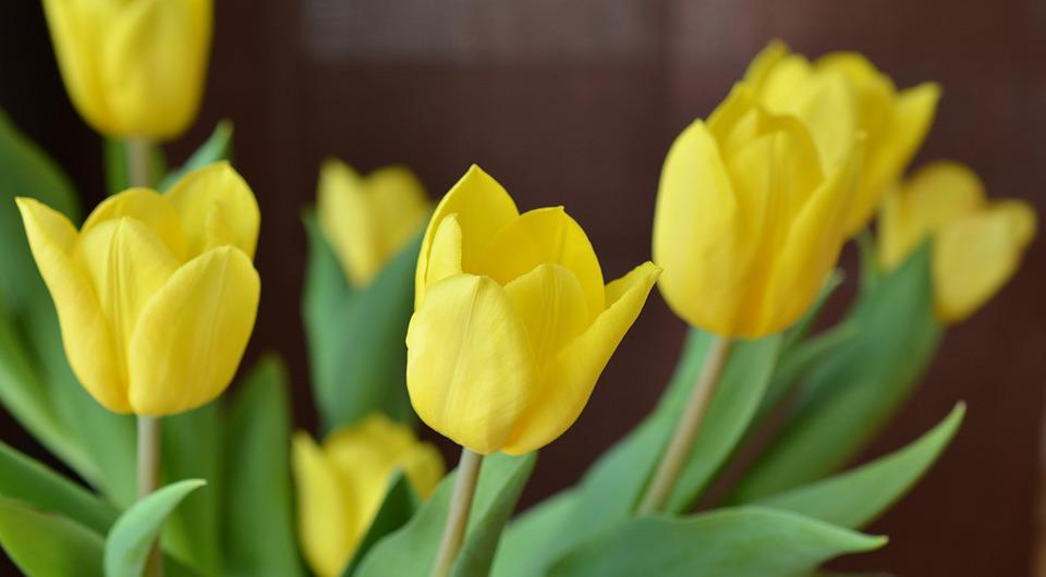 Tulips, Spring, Cut Flowers, Flower, Flowers, Yellow