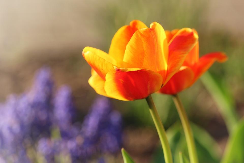 Tulips, Spring, Growth, Close, Bright, Flowers, Garden