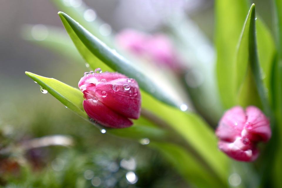 Tulips, Flowers, Blossom, Bloom, Garden, Spring Flowers