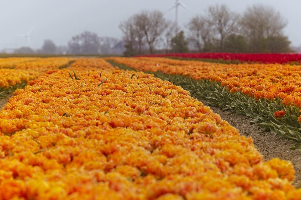 Tulips, Tulip, Orange, Tulip Bulbs, Flowers, Spring