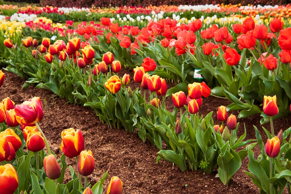 Tulips, Red, Field, Flowers, Nature, Spring, Blossom