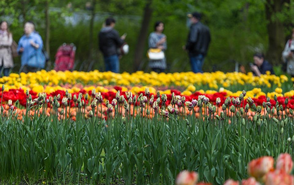 Flowers, Tulips, Festival, St Petersburg, Russia