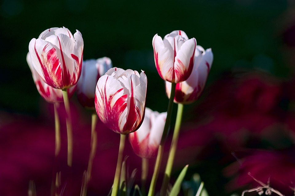 Flowers, Tulips, Garden, Bloom, Blossom