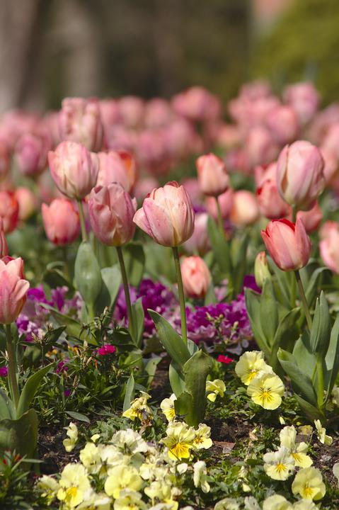 Tulips, Flowers, Roses, Garden