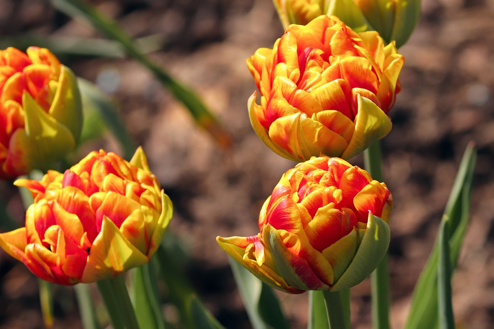 Tulips, Bud, Tulips Knopspen, Colorful, Color, Red